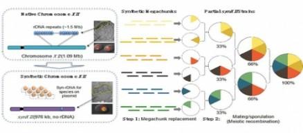 戴俊彪研究组在《Science》发表论文报道酿酒酵母十二号染色体的设计与人工合成